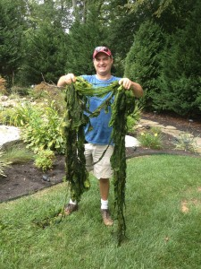 Example of String Algae held by Dalton Quigley of Quigley's Landscaping.