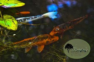 Nashville Koi Fish for ponds